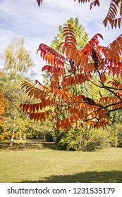 Autumn colors of the Rhus typhina (Stag horn sumac, Anacardiaceae). Red, orange, yellow and green leaves of sumac in the Park