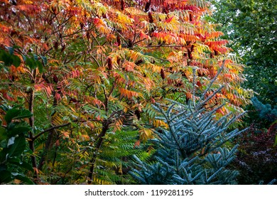 Autumn colors of the Rhus typhina (Staghorn sumac, Anacardiaceae). Red, orange, yellow and green leaves of sumac and blue fir Abies koreana Silberlocke. Natural texture pattern background.