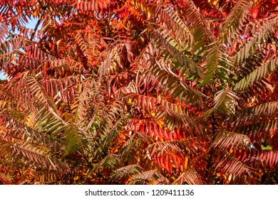 Autumn colors of the Rhus typhina (Staghorn sumac, Anacardiaceae). Red, orange, yellow and green leaves of sumac. Natural texture pattern background.