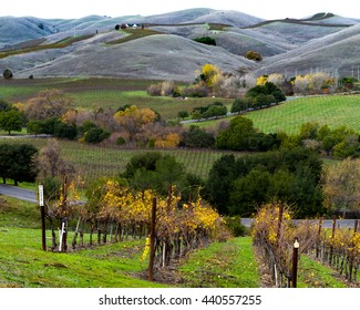 Autumn colors and rolling hills in a Napa Valley California vineyard. Vibrant yellow grapevines, green trees and hills in Napa wine country. Albarino vines at harvest time.