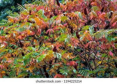 Autumn colors and shades on the leaves of Rhus typhina (Staghorn sumac, Anacardiaceae). Red, orange, yellow and green leaves on the branches of sumac. Natural texture pattern background of the garden
