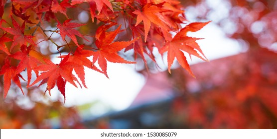 Autumn Colors in Tokyo, Japan, Beautiful autumn maple leaves in sunlight. Autumn forest natural landscape.