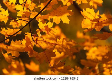 Autumn coloured leaves in the bright sunlight.