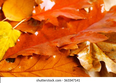 Autumn colourful wet  leaves background, close up
