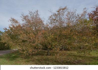 Autumn Colours of an American Hornbeam Tree (Carpinus caroliniana) in a Park in Rural Surrey, England, UK