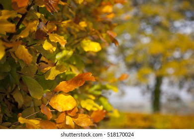 Autumn Colours Beech Tree Hedge Background
