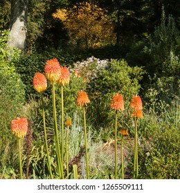 Autumn Colours of Kniphofia 'Torchlight' (Red Hot Poker or Torch Lily) in a Herbaceous Border in a Country Cottage Garden in Rural Devon, England, UK
