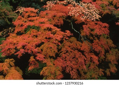 Autumn colours (Maple)