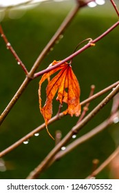 Autumn is coming to an end. The last leaf on the maple tree