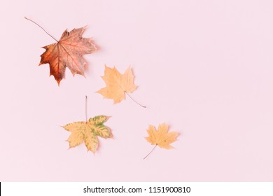 Autumn composition. Pattern made of dried autumn maple leaves on a pastel pink background. Autumn  background. Flat lay, top view, copy space