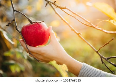 Autumn concept. Someone is picking a red apple from the tree