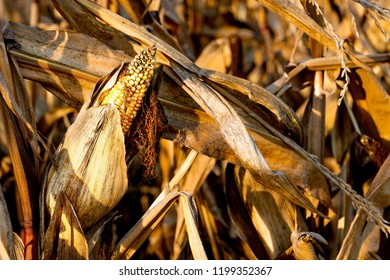 Autumn corn field, overripe, dried fodder maize, animal feed, processing of maize, corn pack, maize