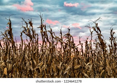 Autumn cornstalks are are topped by a colorful sunset sky in America's Midwest.