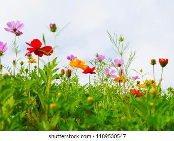 Autumn cosmos flowers