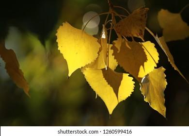 Autumn Cottonwood Leaf