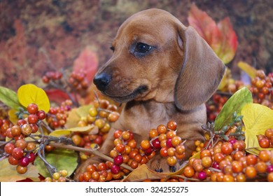 Autumn Dachshund Puppy in a fall holiday scene of colored leaves and berries.  Profile view of a miniature red smooth haired dachshund puppy dog in a fall display.