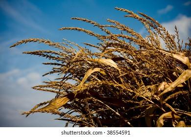 an autumn day in a corn field