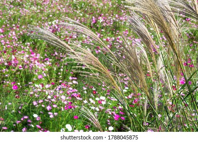 An Autumn Day and Silver Grass
