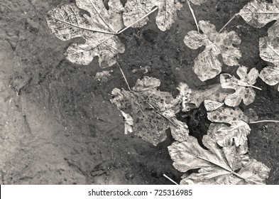 Autumn Decomposing Leaves Floating on the Surface of the Water. Black and white photo