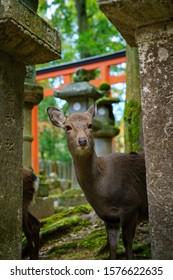 Autumn of the deer in Nara park (Nara , Japan)