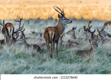 Autumn Deer in Richmond Park,London