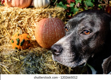Autumn Dog portrait Thankgiving and Halloween dog conceptual photography closeup of cute dog with pumpkins and hay in background for autumn holiday celebration concept and pet safety
