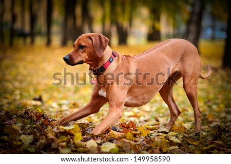 Autumn Dog Rhodesian Ridgeback