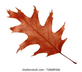 Autumn dried leaf of oak. Isolated on white background.