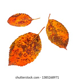 autumn dry leaves, yellow and red autumn colors isolated on white background