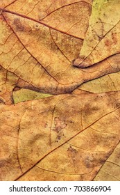 Autumn Dry Maple Leaves Backdrop Grunge Texture