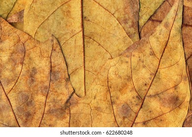 Autumn Dry Maple Leaves Background Texture
