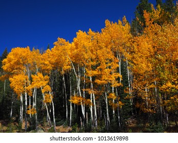 Autumn Fall Aspen Trees