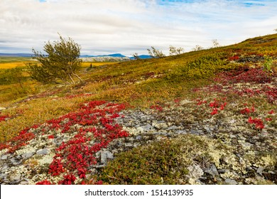 Autumn fall colors in arctic tundra with bright red Alpine Bearberry, Arctous alpina,  Richardson Mountains, Yukon Territory, Canada