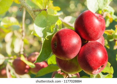 Autumn fall harvest red apple trees in the fruit nature garden sunny summer day.