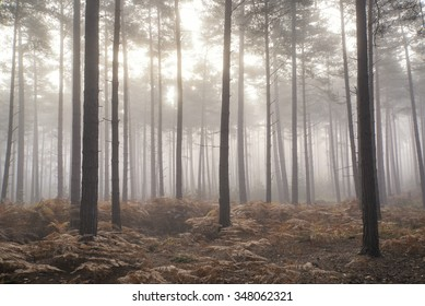 Autumn Fall landscape foggy morning in pine forest