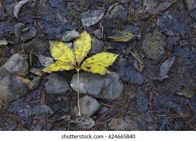 Autumn fall leaf on forrest floor