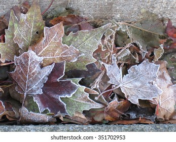 autumn fall leaves covered in frost