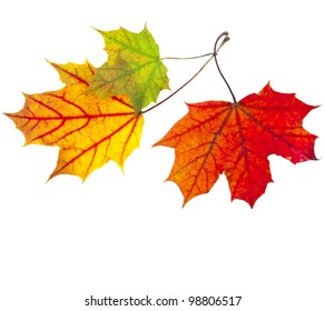 autumn fall  leaves maple isolated on white background