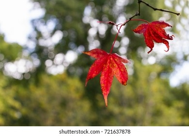Autumn or Fall Red Leaves with space for text. Westonbirt, UK