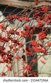 Autumn (fall) red mountain ash berries in russian village. Beautiful season nature in Russia