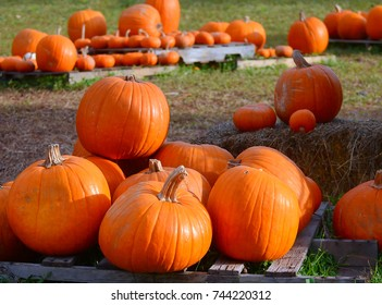 Autumn or fall scene for Halloween and Thanksgiving of a pumpkin patch in the country