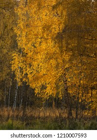 Autumn fall season in a golden birchwood