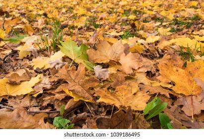 autumn fallen leaves on grass