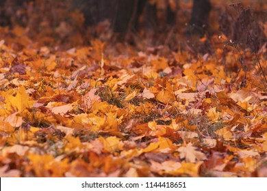 Autumn fallen leaves on the ground in the forest. Seasonal picturesque background. Toned