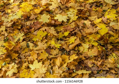 Autumn fallen leaves on the ground in the forest. Seasonal picturesque background