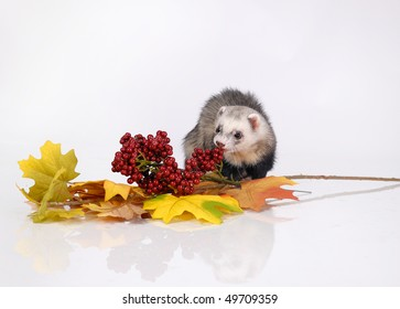 Autumn ferret with berry and yellow leaves