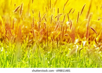 Autumn field grass in golden tones. Meadow grass background in the morning sun rays. Autumn field background. Autumn  nature background In warm seasonal colors