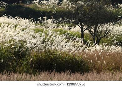Autumn field and Japanese pampas grass