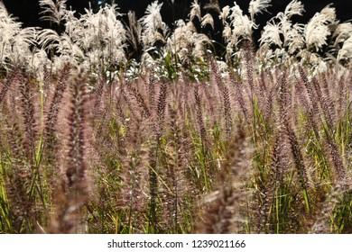 Autumn field (pennisetum and Japanese pampas grass)