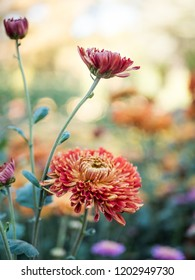 Autumn floers orange chrysanthemums on a colourful flower background